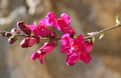 Snapdragon flower Stock Photography