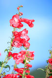Snapdragon Flower on blue sky Royalty Free Stock Photography