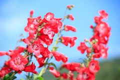 Snapdragon Flower on blue sky Royalty Free Stock Images