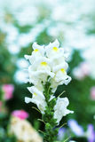 Snapdragon flower Royalty Free Stock Images
