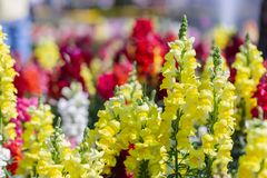 Snapdragon flower and green leaf in garden at sunny summer or spring day for beauty decoration and agriculture design.  stock photo