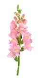 Snapdragon flower Stock Images