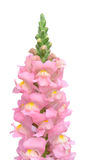 Snapdragon flower Stock Photo