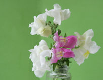 Snapdragon flowers Royalty Free Stock Photography