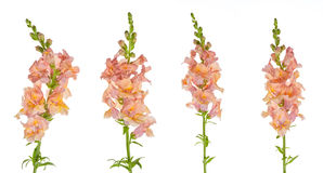 Snapdragon Royalty Free Stock Photos
