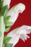 Snapdragon Macro Royalty Free Stock Image
