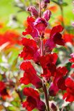 Snapdragon red Royalty Free Stock Image