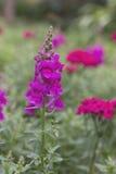 Snapdragon rosado Foto de archivo