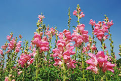 Snapdragon, rosafarbene Blumen Lizenzfreie Stockfotografie