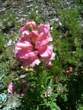 Snapdragon rose Images libres de droits