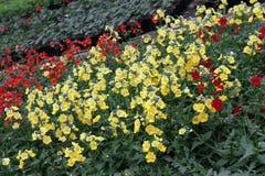 Snapdragon. Snapdragon Antirrhinum majus flower for sale, decorations or gift. Antirrhinum flower in pot. Floral pattern Stock Photo