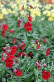 Snapdragon. Snapdragon Antirrhinum majus flower for sale, decorations or gift. Antirrhinum flower in pot. Floral pattern Stock Photo