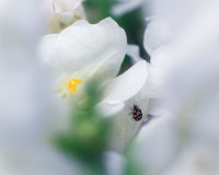 Snapdragon with Varied Carpet Beetle Stock Image