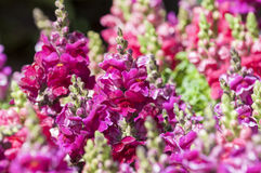 Snapdragon. Very vibrant snapdragon plant in garden Stock Photo