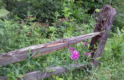 Snapdragons growing along a forgotten fence stock photo