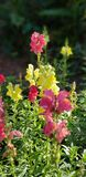 Snapdragons royalty free stock photography