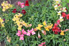 Snapdragons Stock Image
