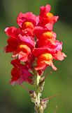 Snapdragons stained with colourful flower Royalty Free Stock Photography