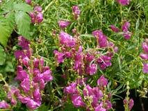 Snapdronbloemen in de wildernis stock foto's