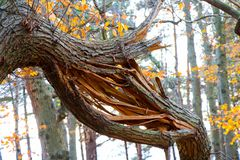 Snapped Tree Branch in Woods. Snapped Tree Branch in Autumn Woods Royalty Free Stock Photo