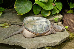 Snapped Turtle. Close up of a Snapped Turtle Stock Images