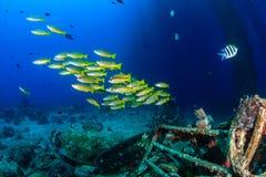 Snapper κολυμπά γύρω από τα υποβρύχια συντρίμμια Στοκ Φωτογραφίες