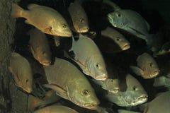 snapper ψαριών Στοκ Εικόνες