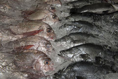 Snapper and barramundi on ice Royalty Free Stock Photo