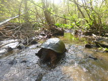 Snapper. Chasing a giant snapping turtle up the Drakes river royalty free stock images