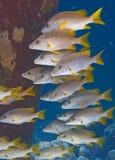 Snapper dalla coda gialla Fotografie Stock Libere da Diritti