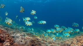 Snapper di Blubberlip e di Sailfin su una barriera corallina Fotografia Stock Libera da Diritti