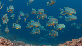 Snapper di Blubberlip e di Sailfin su una barriera corallina Immagine Stock