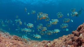 Snapper di Blubberlip e di Sailfin su una barriera corallina Fotografia Stock