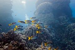 Snapper di Onespot sulla barriera corallina fotografie stock