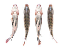 Snapper Fish isolated on white background Royalty Free Stock Photos