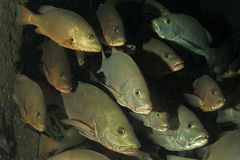 Snapper fish Stock Images