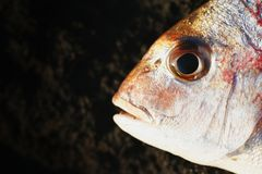 Snapper fish. Side macro portrait of snapper fish with black background and copy space Stock Photos