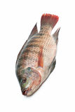 Snapper Fish isolated on white background. Snapper Fish On White Background Royalty Free Stock Image