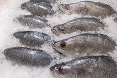 A snapper fish frozed in the ice at the market. Background stock image