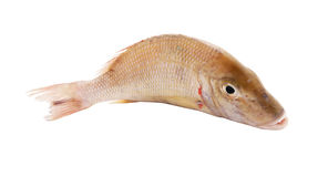 Snapper fish Royalty Free Stock Photo