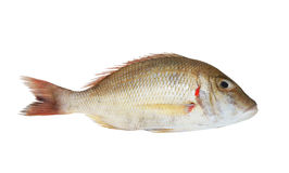 Snapper fish Royalty Free Stock Images