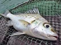 Snapper fish. Saddle grunt fish,Javelin grunter fish in landing net Royalty Free Stock Photography