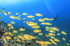 Snapper fish and scuba diver Royalty Free Stock Photos