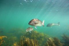 Snapper fiskar undervattens- simning över brunalgskog på getön, Nya Zeeland Arkivfoto