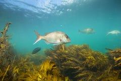 Snapper fiskar undervattens- simning över brunalgskog på getön, Nya Zeeland Royaltyfri Fotografi