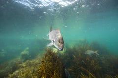 Snapper fiskar undervattens- simning över brunalgskog på getön, Nya Zeeland Arkivfoton