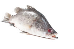 Snapper Stock Image