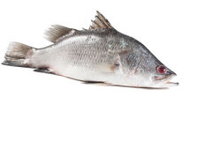 Snapper Stock Photography