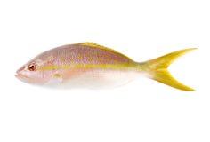 Snapper giallo della coda Immagini Stock Libere da Diritti