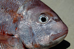 Snapper Head Royalty Free Stock Images